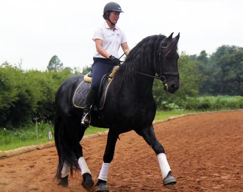Robyn Kenyon's Friesian stallion D'Artagnan of Millford