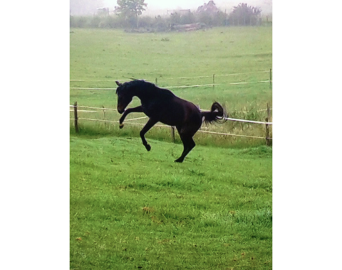 The beautiful Compton House Futuristic having fun in his paddock, owned by Jess Hodgkinson