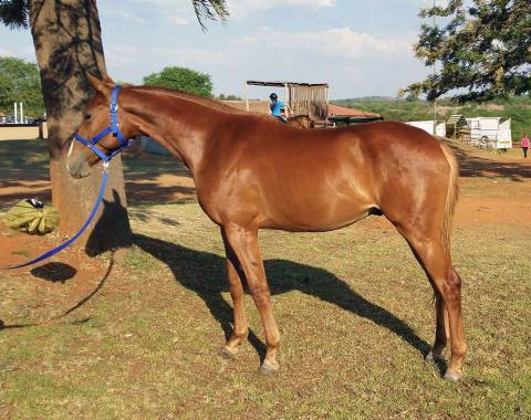 Natasha Erasmus's beautiful young horse, Lisandro