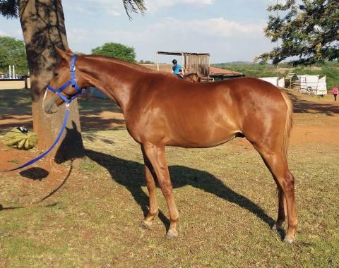 Natasha Erasmus's beautiful young horse, Lisandro
