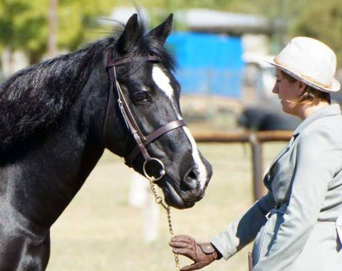 Fronarth Primadonna (Imp) owned by the Bendithio Stud – Winner of SA Senior Champion Cob Mare