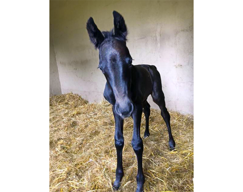 Bronwyn Myburgh's beautiful colt, Paladin, by Rivervale's Priceless out of Rivervale's Grace Kelly