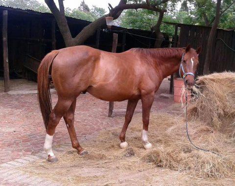 Lerusha Kanniappen's beautiful Hercules loving his hay