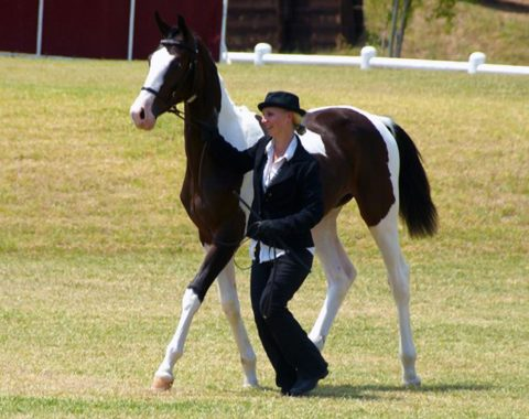 Rebecca Jeal's fabulous Amdeck Donatello making his mom proud in the show ring!