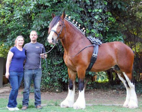 Ian and Angelique Cruickshank's beautiful Clydesdale, Atlas