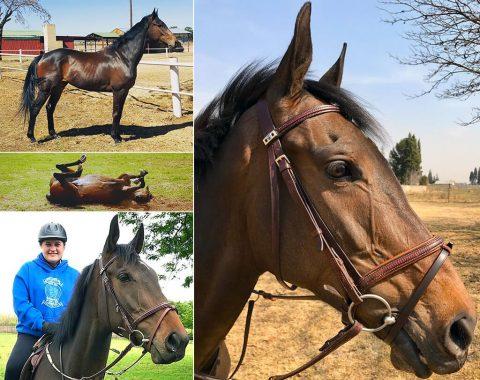 Tandi Mardon's horse Cavalero