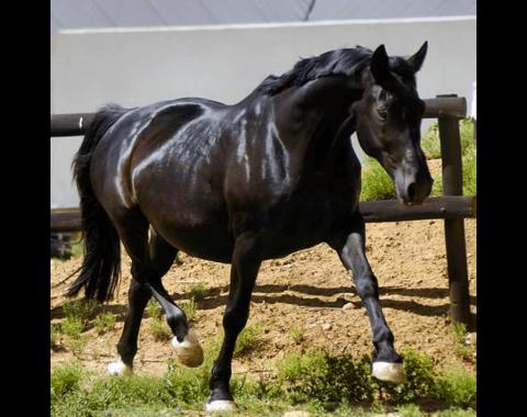 Enge Smit's beautiful horse Dresdan