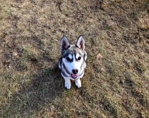 Bianca's gorgeous Husky – Luna