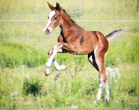 Louise Kotze's foal Mythos Delle Seyah