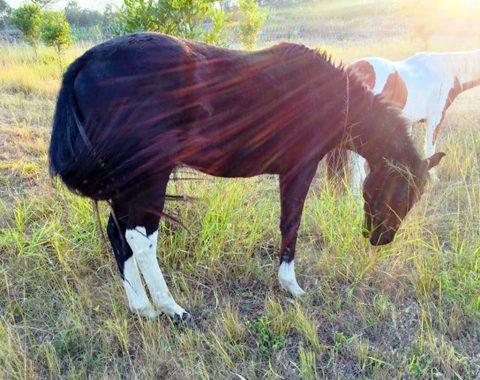 Pier Rush's most beautiful American Paint Horse, Lock's So Black Charley aka Koda