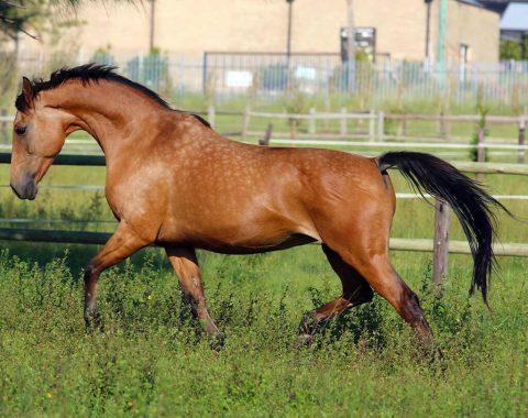 Clarissa Groesbeek's stunning mare, Mexican Rose