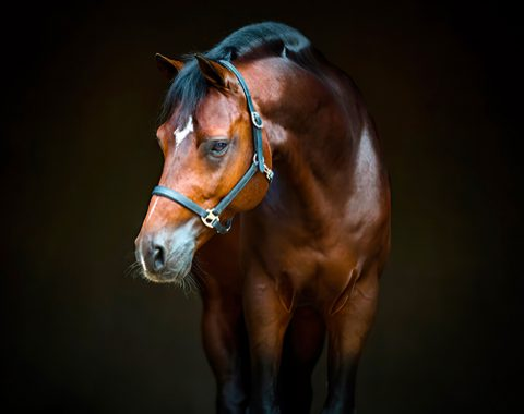 Katie Walters' magnificent stallion Qualimero Z