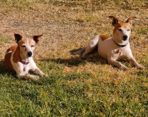 Candice Hobday's cutest little Jack Russells, Tazz and Lexus