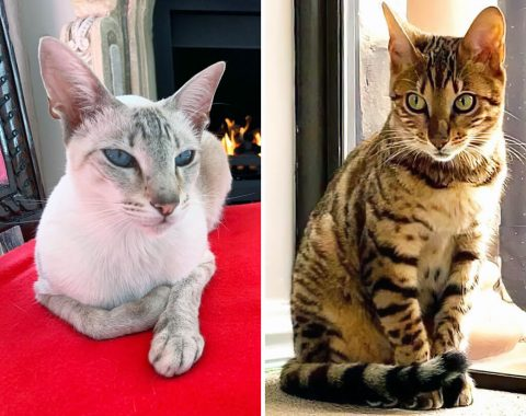 Chanel is a Siamese and Prada is a Brown spotted Bengal owned by Joy Torrens
