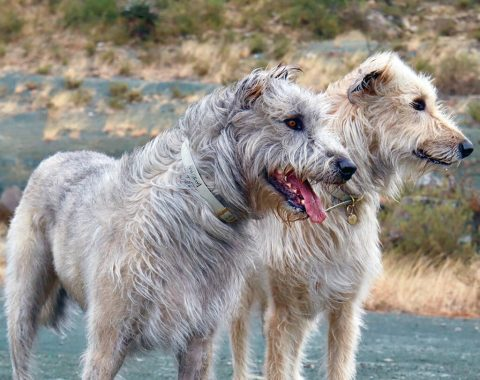 Cody and Conan are stunning Irish Wolfhounds and their mom is Alichea Viljoen