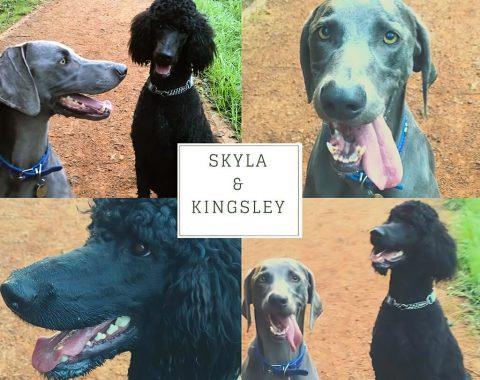 Skyla is a Blue Weimarana and Kingsley is a Poodle owned Megan Ilgen