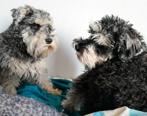 These two beauties are salt and pepper coloured Miniature Schnauzer's that belong to Madeleine Stassen