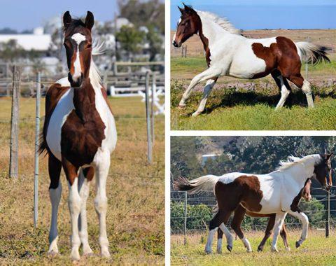 Caroline De Bruin's beautiful foal, Camden's Quality
