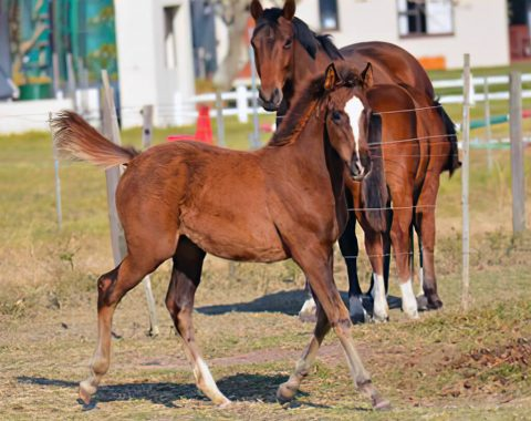 Caroline De Bruin's beautiful foal, Camden's Zamira