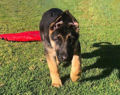 This beautiful German Shepherd named Odin belongs to our client Nicholas Gain