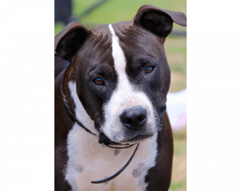 Zaine is a stunning American Staffie who belongs to our client Dr Summer Maitland Stuart and Mark Trethewey