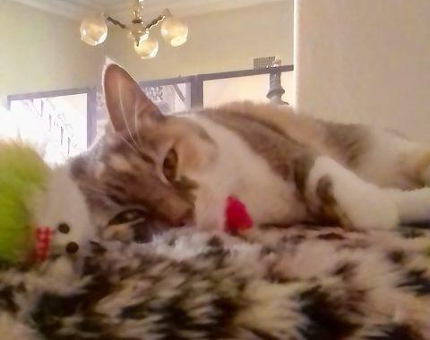 This beautiful domestic shorthair feline named Yara belongs to our client Jo-Anne Cunningham