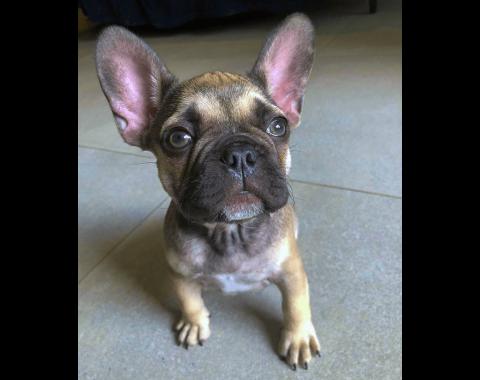 Jarred Bersiks and his stunning French Bulldog called Pablo