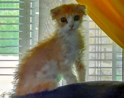 Wendy Schoeman and her stunning furry kid Tinkerbell, the ginger LaPerm kitten