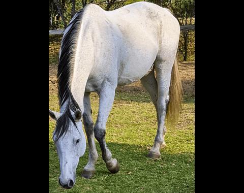 Mel Watson's horse, Old Guard