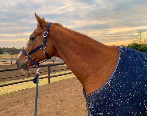 Nirvana Howard's beautiful gelding, Chevalier